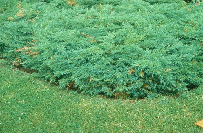 Plant photo of: Juniperus sabina 'Scandia'