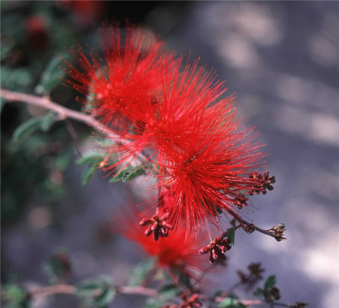 Plant photo of: Calliandra californica