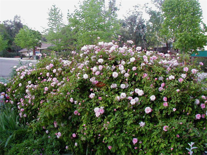 Plant photo of: Rosa 'Cecile Brunner'