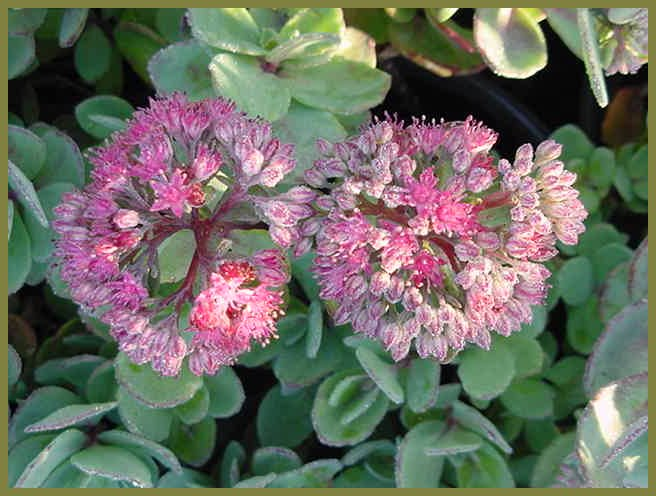 Plant photo of: Sedum 'Autumn Joy'