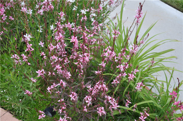 Plant photo of: Gaura lindheimeri 'Whirling Butterflies'