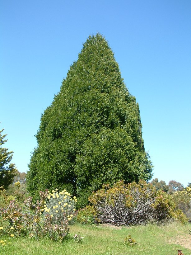 Plant photo of: Cupressocyparis leylandii