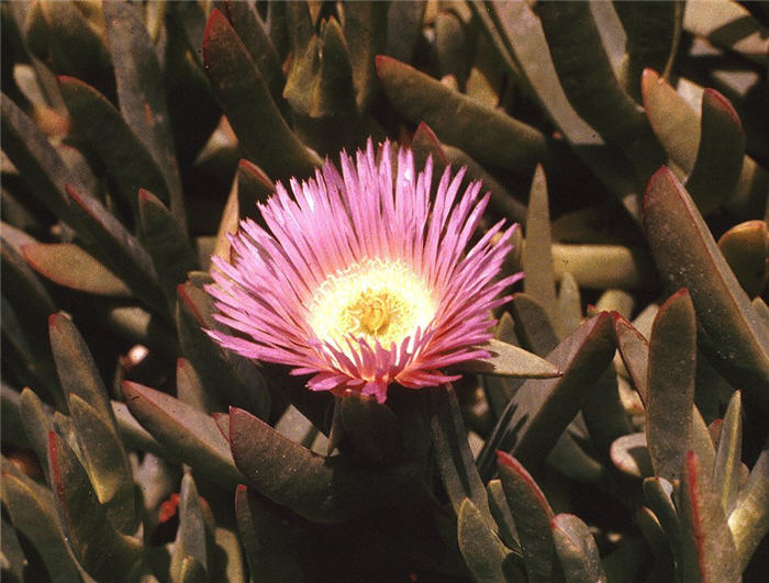 Plant photo of: Carpobrotus chilensis