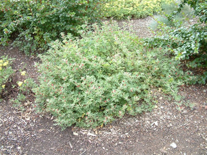 Plant photo of: Sphaeralcea ambigua