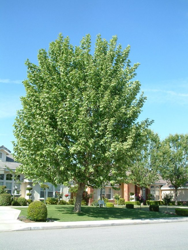 Plant photo of: Platanus racemosa