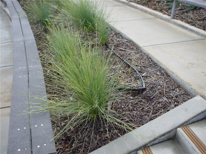 Lygeum spartium for Ornamental grass that looks like wheat