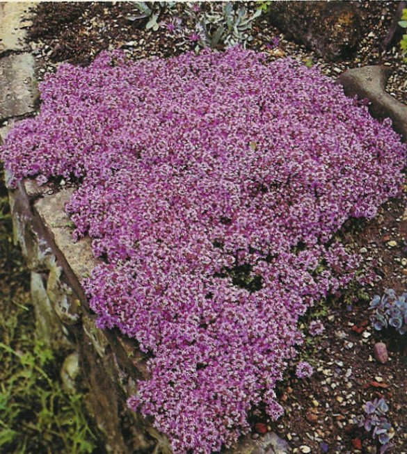 Plant photo of: Thymus praecox arcticus
