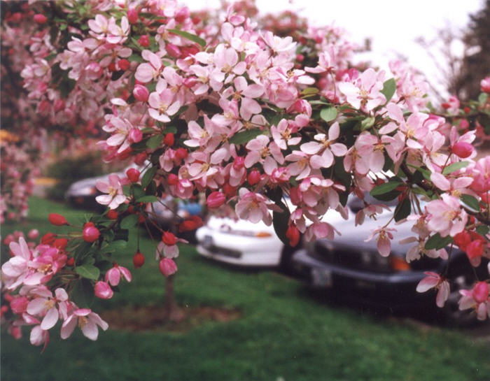 Plant photo of: Malus floribunda