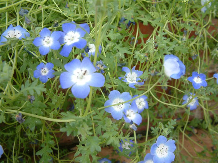 Plant photo of: Nemophila menziesii