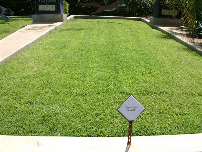 Plant photo of: Zoysia 'De Anza'