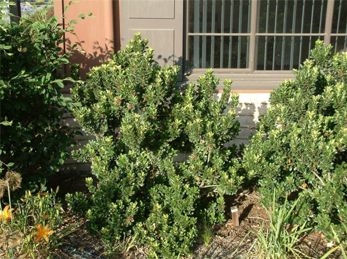 Plant photo of: Myrsine africana