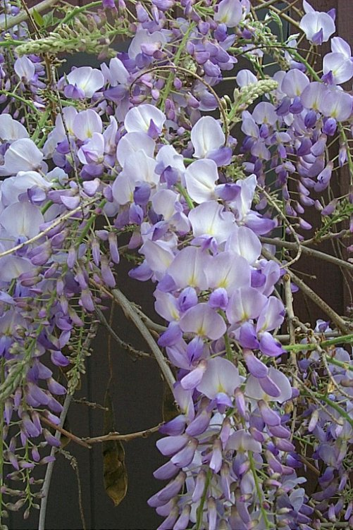 Plant photo of: Wisteria sinensis