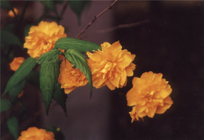 Plant photo of: Kerria japonica 'Pleniflora'