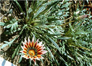 Gazania trailing 'Sunburst'