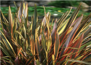 Phormium 'Rainbow Warrior'