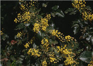 Berberis 'Golden Abundance'