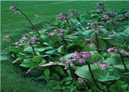 Heartleaf Bergenia, Winter Bergenia