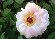 Paeonia 'Goddess of Mt. E Mei'