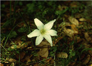 Zephyranthes atamasco