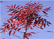 Pistacia chinensis 'Red Push'