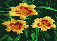 Hemerocallis 'Black-Eyed Stella'