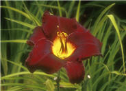 Hemerocallis 'Acapulco Night'