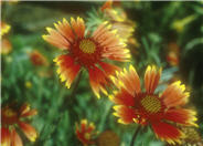 Monarch Blanket Flower