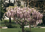 Lavender Pink  Japanese Wisteria