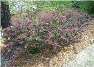 Dwarf Japanese Barberry, Pygmy