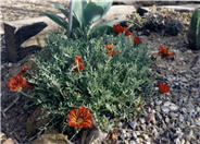 Trailing Gazania, Treasure Flower