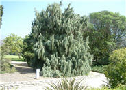 Tolleson's Weeping Juniper