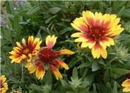 Goblin Blanket Flower